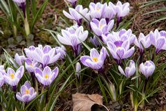 Flowering wonderful bright crocuses. Beautiful bright striped crocuses, the first to bloom in spring royalty free stock image