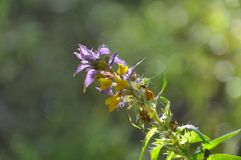 Flowering Wood Cow-wheat in meadow. Forest flowers stock photography