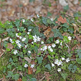 Flowering wood sorrel and ivy on a dead trunk Royalty Free Stock Image