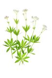 Flowering woodruff (Galium odoratum) Stock Image