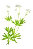 Flowering woodruff (Galium odoratum) Royalty Free Stock Photo