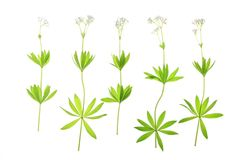 Flowering woodruff (Galium odoratum) Royalty Free Stock Image