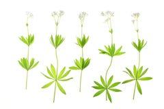 Flowering woodruff (Galium odoratum) Royalty Free Stock Image
