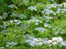 Flowering yarrow Royalty Free Stock Image