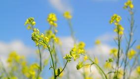 Flowering Yellow Barbarea vulgaris in wind against beautiful sky stock video