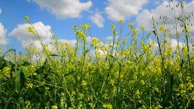 Flowering Yellow Barbarea vulgaris in wind against beautiful sky stock video footage