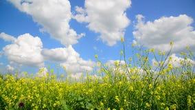 Flowering Yellow Barbarea vulgaris in wind against beautiful sky stock footage
