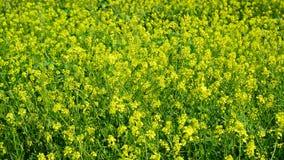 Flowering Yellow Barbarea vulgaris in wind stock video