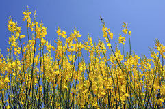 Flowering yellow broom. On blue sky background stock photos