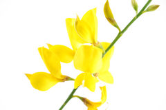 Flowering yellow broom, detail, on white Stock Photos