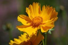 Flowering Yellow Calliopsis Flower Royalty Free Stock Photo