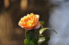 Flowering Yellow Camellia Japonica Stock Image