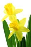 Flowering yellow daffodils Stock Photos