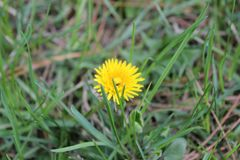 Flowering yellow dandelion in the park in the spring. Nature pho royalty free stock photography