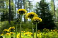 Flowering yellow dandelions. On the meadow at summer Stock Images