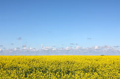 Flowering yellow field and blue sky Stock Photo