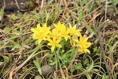 Flowering yellow gagea Stock Photos