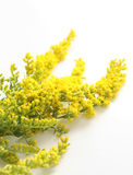 Flowering yellow gorse. Details of flowering yellow gorse plant isolated on white background Stock Photography