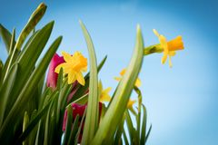 Flowering yellow irises and red tulips against the background of the spring sky. royalty free stock image