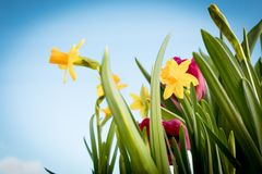 Flowering yellow irises and red tulips against the background of the spring sky. Bouquet for women`s holiday. Blooming flowers. Delicate fresh greenery of royalty free stock images