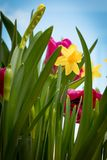 Flowering yellow irises and red tulips against the background of the spring sky. Royalty Free Stock Photo