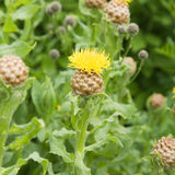 Flowering Yellow knapweed Royalty Free Stock Photo