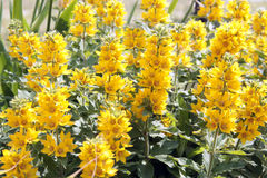 Flowering yellow loosestrife - Lysimachia punctata Stock Photos