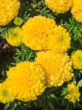 Flowering yellow Marigolds (Tagetes) Royalty Free Stock Photography