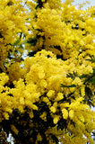 Flowering Yellow Mimosa Royalty Free Stock Photography