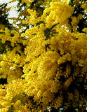 Flowering Yellow Mimosa Royalty Free Stock Images