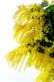 Flowering Yellow Mimosa Stock Photo