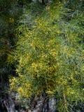 A flowering yellow mistletoe. A wild flowering yellow mistletoe in the Flinders ranges in Australia royalty free stock photos