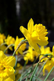 Flowering yellow narcissus in spring. Flowering yellow narcissus in the town garden in spring Stock Photography