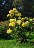 Flowering yellow roses in the garden Stock Images
