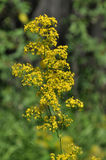 Flowering yellow thyme Royalty Free Stock Photo