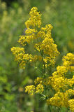 Flowering yellow thyme Royalty Free Stock Photography