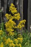 Flowering yellow thyme Stock Photo