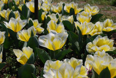 Flowering Yellow and White Tulips in a Spring Garden. Spring garden with flowering yellow and white tulips blooming Stock Photo