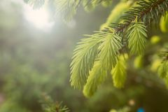 Flowering young coniferous trees in the spring in the forest. Selective focus. Flowering young coniferous trees in the spring in the forest Stock Photography