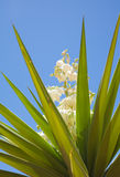 Flowering yucca Stock Photo