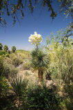 Flowering Yucca Royalty Free Stock Photo