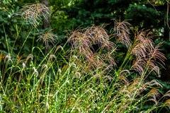 Flowering Zebra Grass stock images