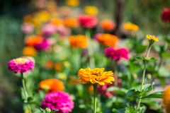 Flowering zinnia in the garden. Selective focus, copy space Royalty Free Stock Photography
