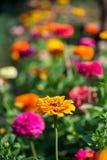 Flowering zinnia in the garden. Selective focus, copy space Stock Images