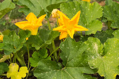 Flowering Zucchini Plant Royalty Free Stock Images