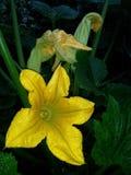 Flowering zucchini plant Royalty Free Stock Photos
