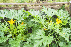 Flowering Zucchini. In a vegetable garden compost bin Stock Image