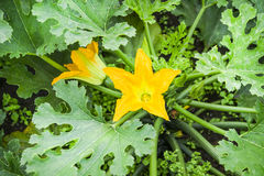 Flowering Zucchini Royalty Free Stock Photography