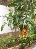 Flowerings pianta il melograno Immagine Stock