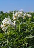 Flowerings plants of potato Royalty Free Stock Photos
